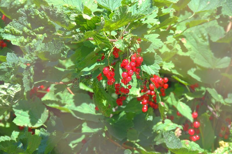 Rote Johannisbeere auf einem Busch lizenzfreies stockbild