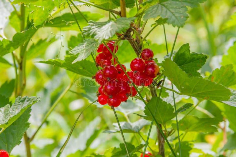 Rote Johannisbeere im sonnigen Garten des Sommers stockbilder