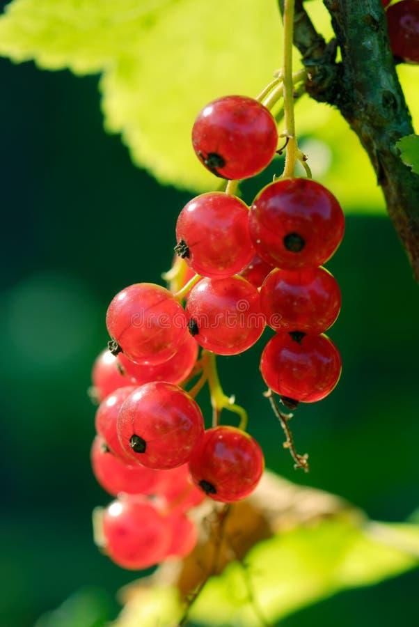 Rote Johannisbeeren lizenzfreie stockbilder