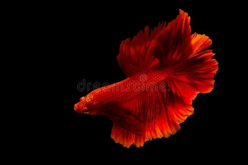 Rote kämpfende Fische lokalisiert auf Schwarzem lizenzfreies stockbild