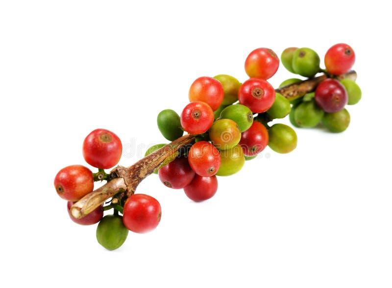 Rote Kaffeebohnen lokalisiert auf weißem Hintergrund Schließen Sie oben von frischem stockfotografie