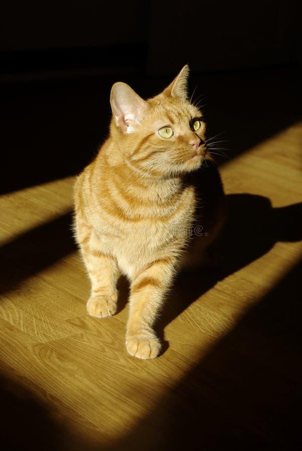 Rote Katze auf einem schwarzen Hintergrund stockfotografie