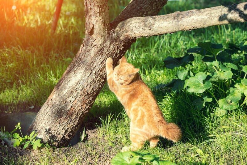 Rote Katze der getigerten Katze reibt seine Greifer gegen den Stamm eines Baums lizenzfreies stockbild