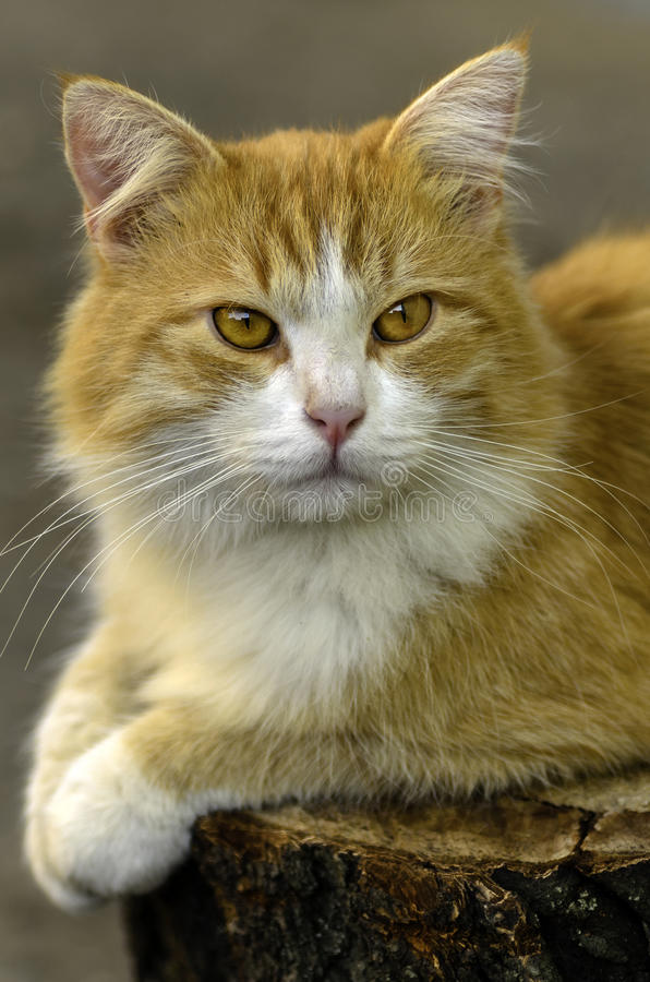 Rote Katze, die auf einem Stumpf sitzt stockfoto
