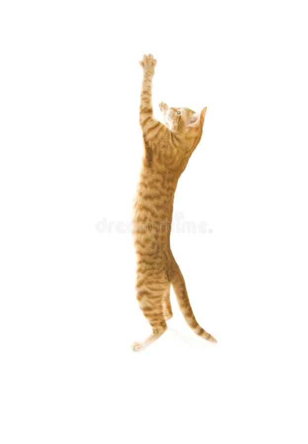 Rote Katze getrennt auf einem Weiß stockfotos