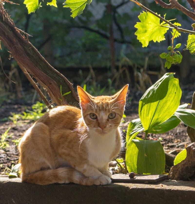 Rote Katze im Morgendunst im Garten Entzückende Katze, welche die Kamera im Freien betrachtet Nettes Haustierkonzept lizenzfreies stockfoto