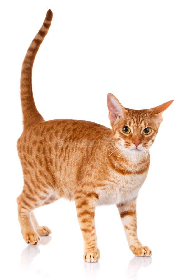 Rote Katze Ocicat auf einem weißen Hintergrund, Studiofoto lizenzfreies stockbild