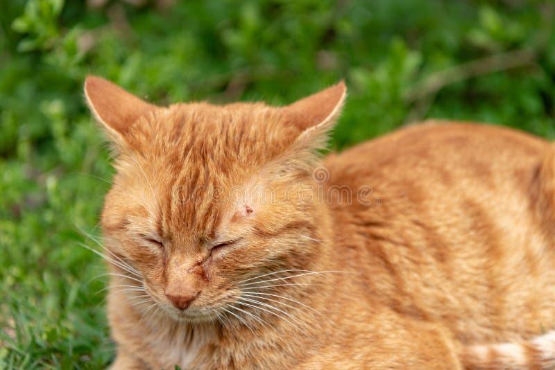 Rote Katzenl?gen entspannten sich im Gras und haben eine Zecke ?ber dem Auge auf dem Kopf stockfotografie