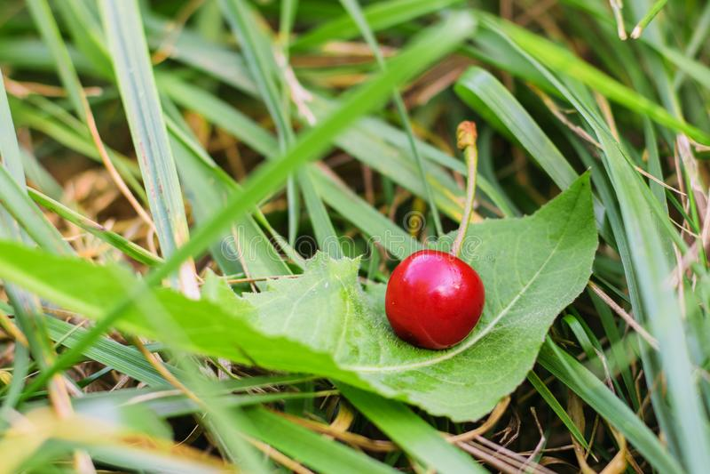 Rote Kirschbeere liegt auf einem Blatt im Gras stockfotografie
