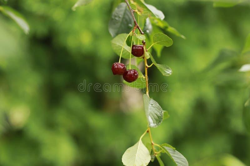 Rote Kirschen auf einem Zweig stockfoto