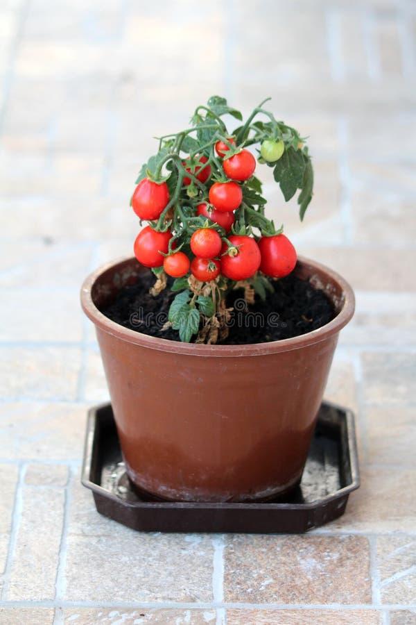 Rote Kirschtomaten, die auf der einzelnen Tomatenpflanze gepflanzt im dunkelbraunen Blumentopf bereit zur Ernte und zum Essen von stockbild