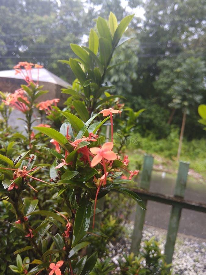 Rote kleine Blume stockbild