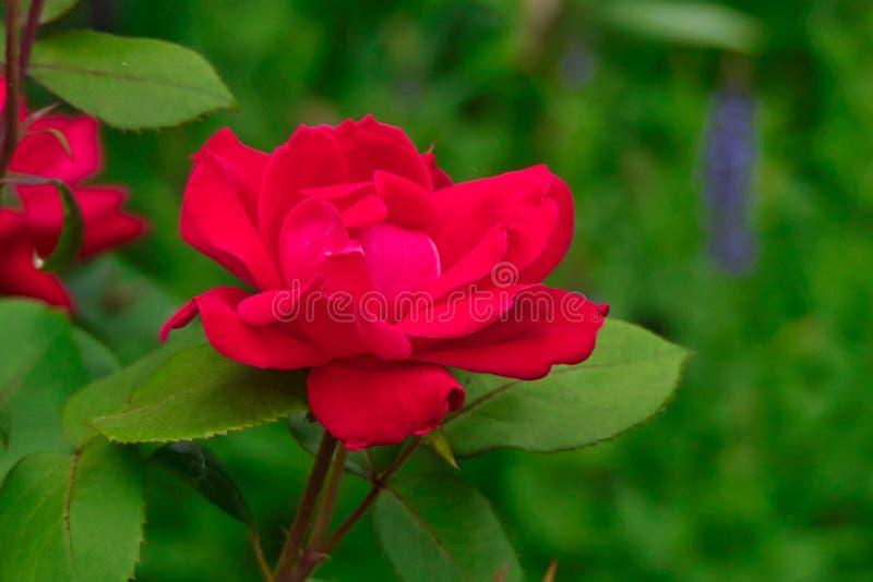 Rote knockout Rose gegen grünen Hintergrund stockfoto