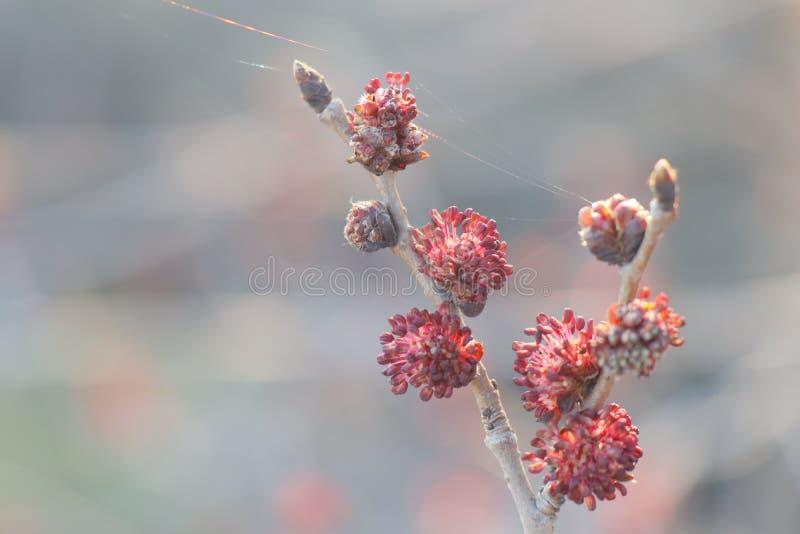 Rote Knospen auf einem schönen Hintergrund stockbild