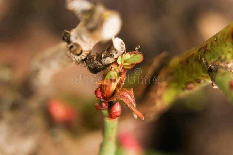 Rote Knospen von den Rosen in einem Garten im Frühjahr lizenzfreies stockfoto
