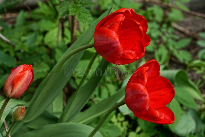 Rote Knospen von Tulpen auf grünen Stämmen und von Blättern im Garten stockfoto