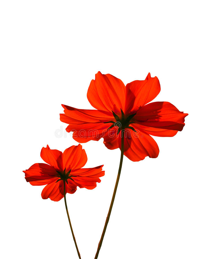 Rote Kosmosblume stockbilder