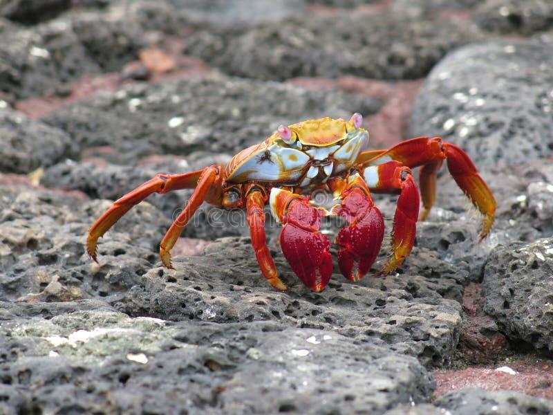 Rote Krabbe auf dem Felsen stockbilder