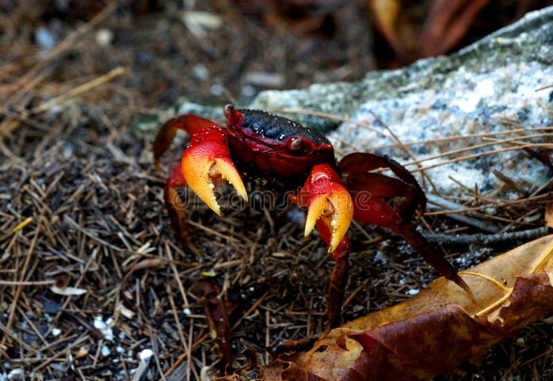 Rote Krabbe mit gelben Greifern lizenzfreies stockfoto