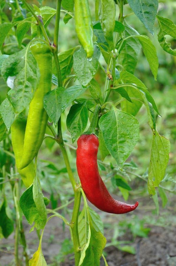 Rote lange Peperoni lizenzfreie stockfotos