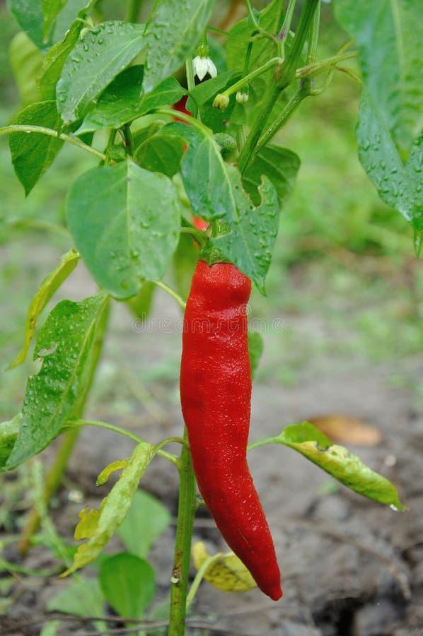 Rote lange Peperoni lizenzfreie stockbilder
