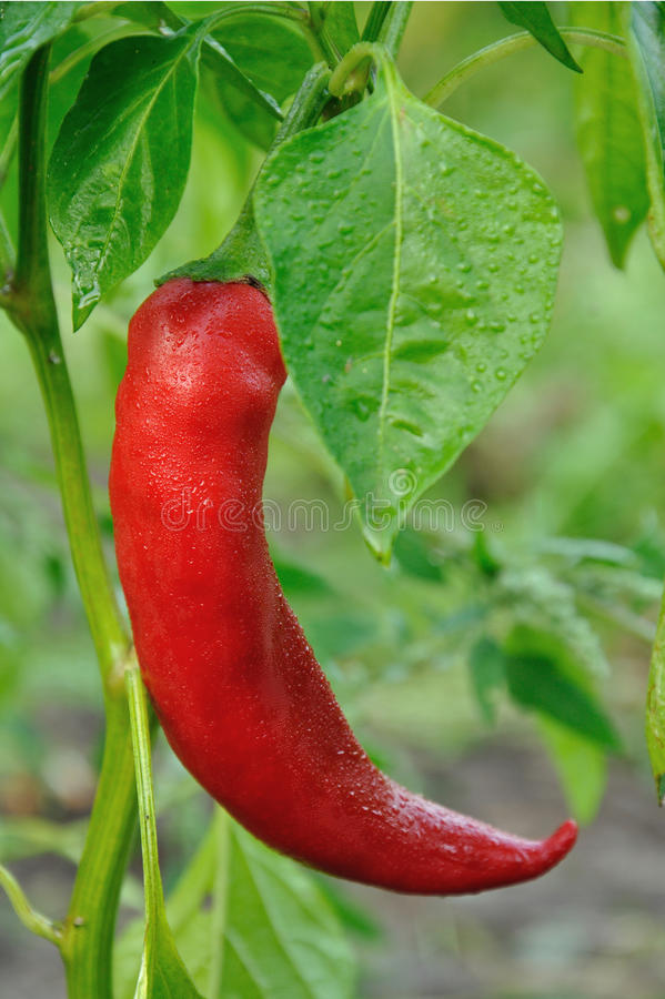 Rote lange Peperoni stockbilder