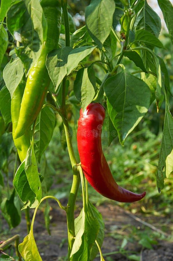Rote lange Peperoni lizenzfreies stockfoto