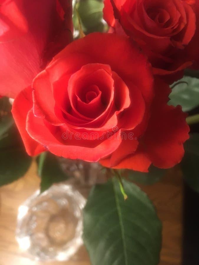 Rote langstielige Rosen lizenzfreie stockfotos