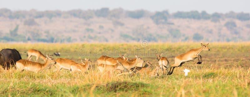 Rote lechwe Herde in Bewegung stockfoto