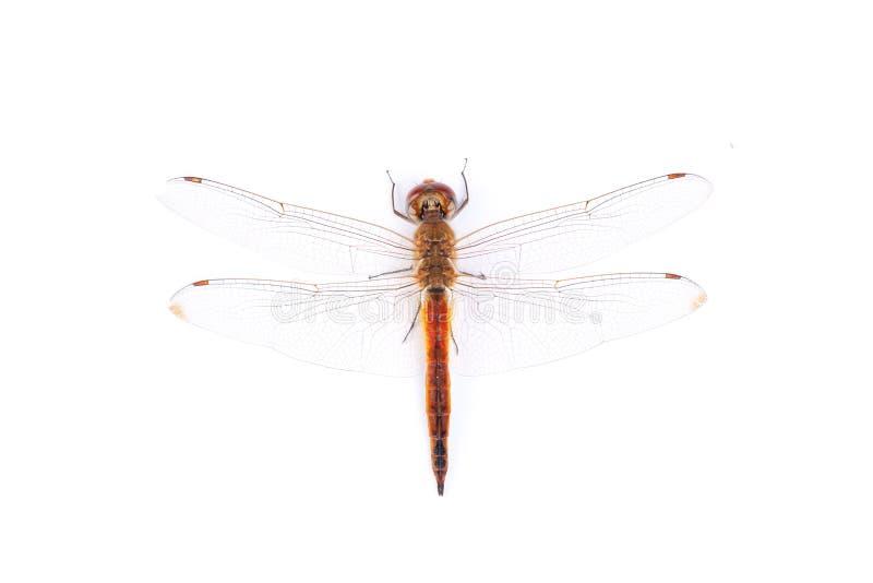 Rote Libelle auf einem weißen Hintergrund stockfotos