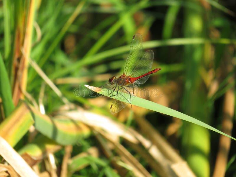Rote Libelle auf Grashalm lizenzfreies stockbild
