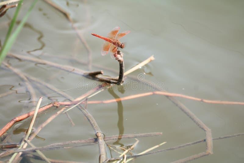Rote Libelle, die auf einem trockenen Blattgras nahe dem Wasser sitzt stockbilder