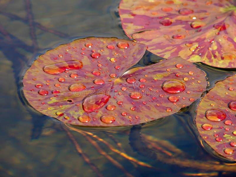 Rote Lilienblätter stockbilder