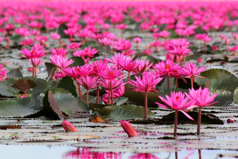 Rote Lotosblume im Teich stockfotografie