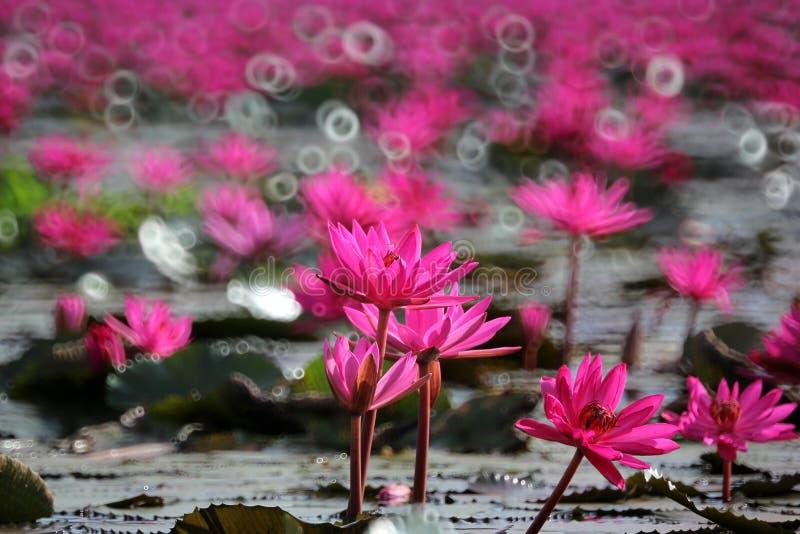 Rote Lotosblume im Teich stockbilder