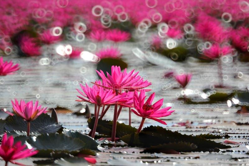 Rote Lotosblume im Teich stockbild