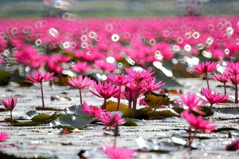 Rote Lotosblume im Teich lizenzfreie stockfotografie