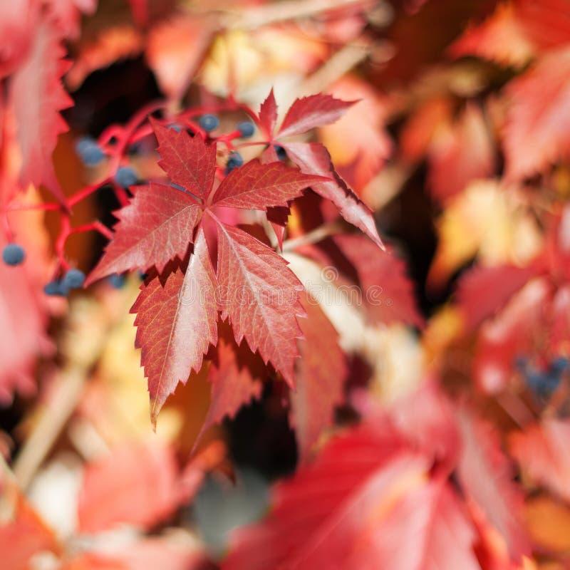 Rote mädchenhafte Traube verlässt auf unscharfem Hintergrundabschluß oben, orange Blätter des bunten Herbstes, gelbes Laub der He lizenzfreie stockfotografie