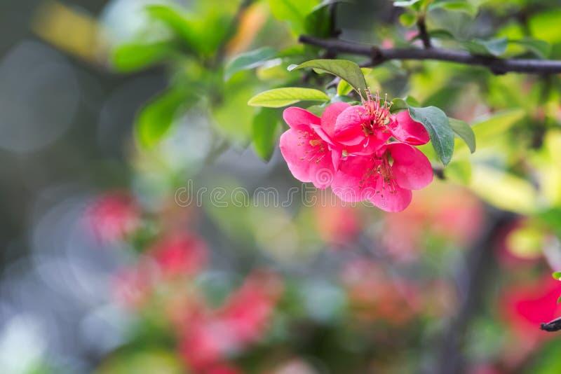 Rote Malus spectabilis Blume - chinesisches crabapple stockfoto