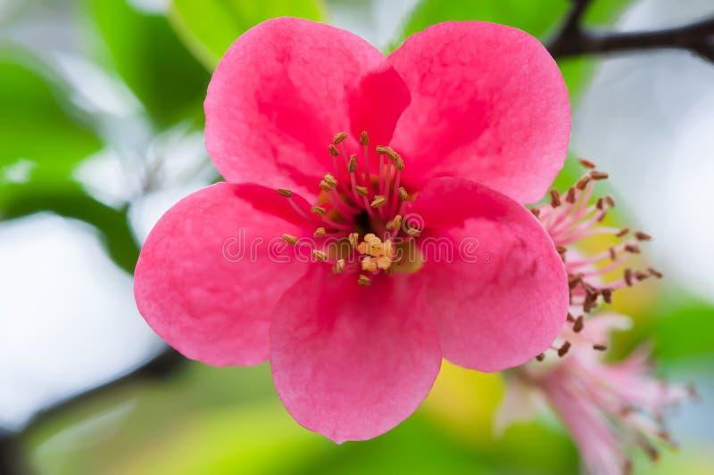 Rote Malus spectabilis Blume - chinesisches crabapple lizenzfreie stockfotografie