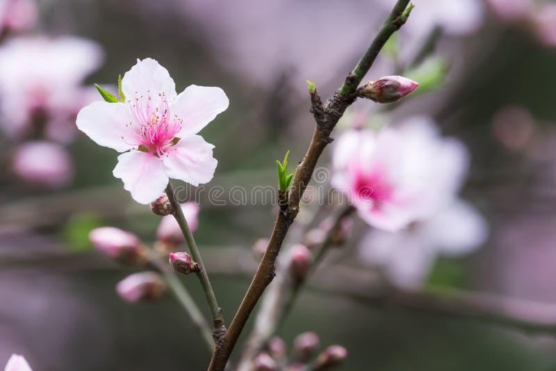 Rote Malus spectabilis Blume - chinesisches crabapple stockbilder