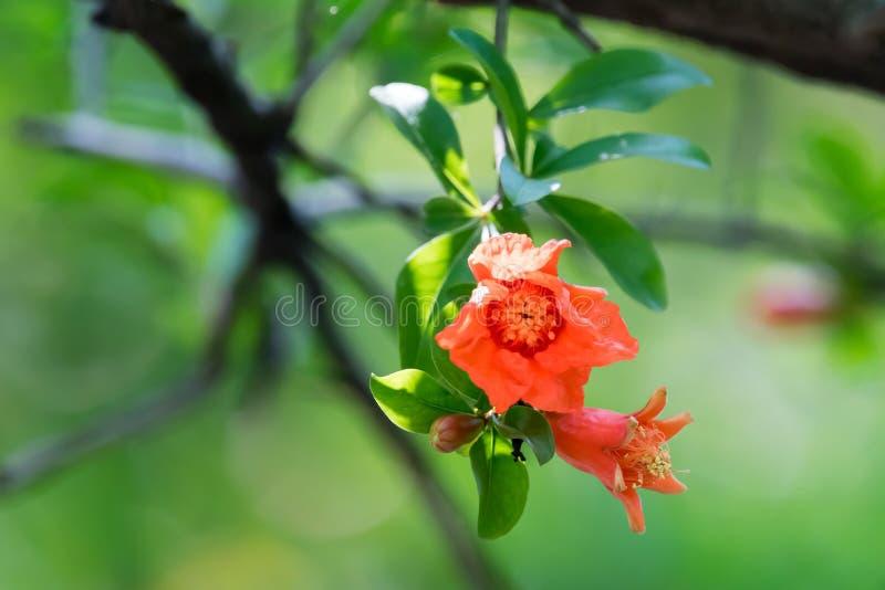 Rote Malus spectabilis Blume - chinesisches crabapple lizenzfreies stockfoto