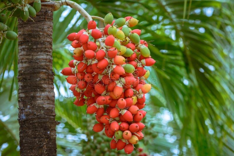 Rote Manila-Palme stockfotos