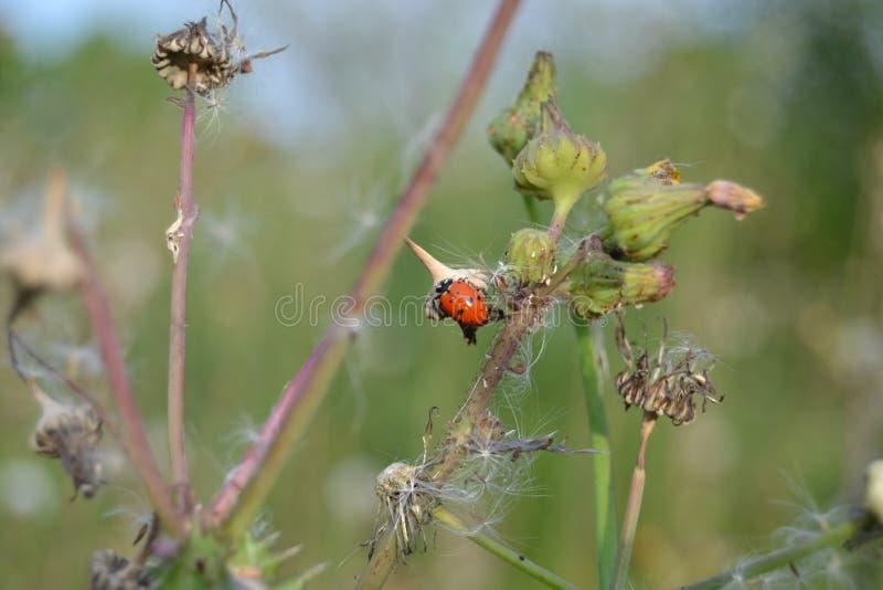 Rote Marienkäferkröpfe auf Unkräutern lizenzfreie stockbilder