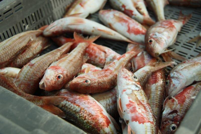 Rote Meeräschen stockbild