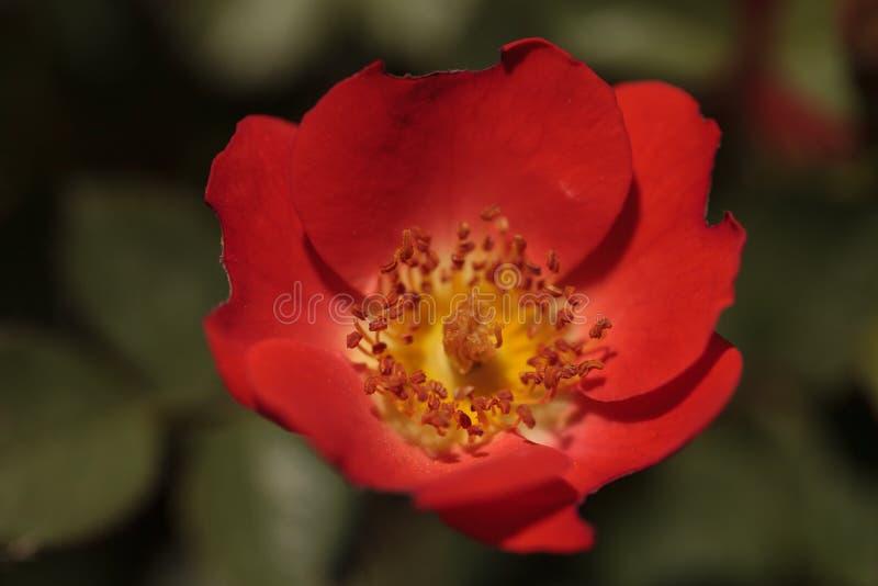 Rote Miniatur-Blume Floribunda Rose Gizmo Rosa lizenzfreie stockfotografie