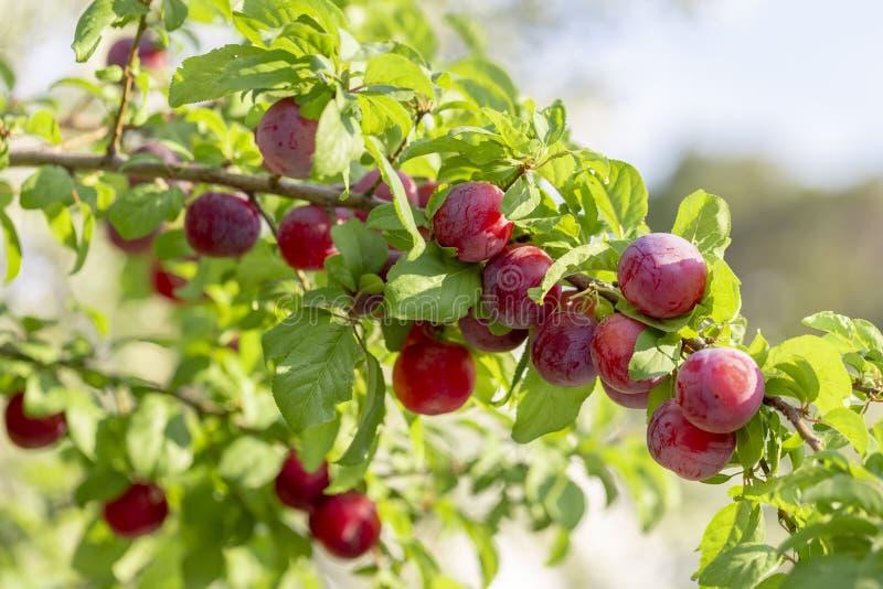 Rote Mirabellenkirschpflaumen - Prunus domestica syriaca beleuchtet durch die Sonne, wachsend auf wildem Baum lizenzfreies stockbild