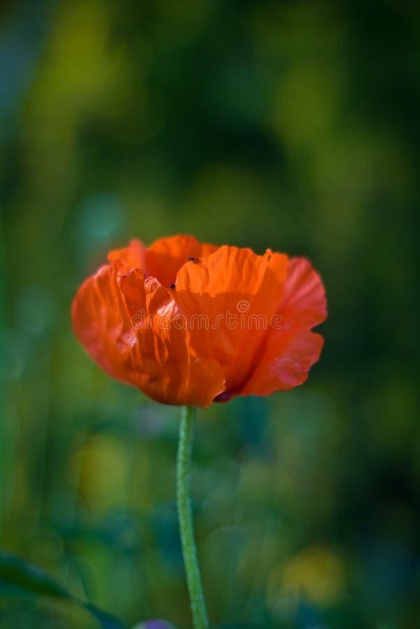 Download Rote Mohnblume stockbild. Bild von blüte, muster, nachricht - 12200941