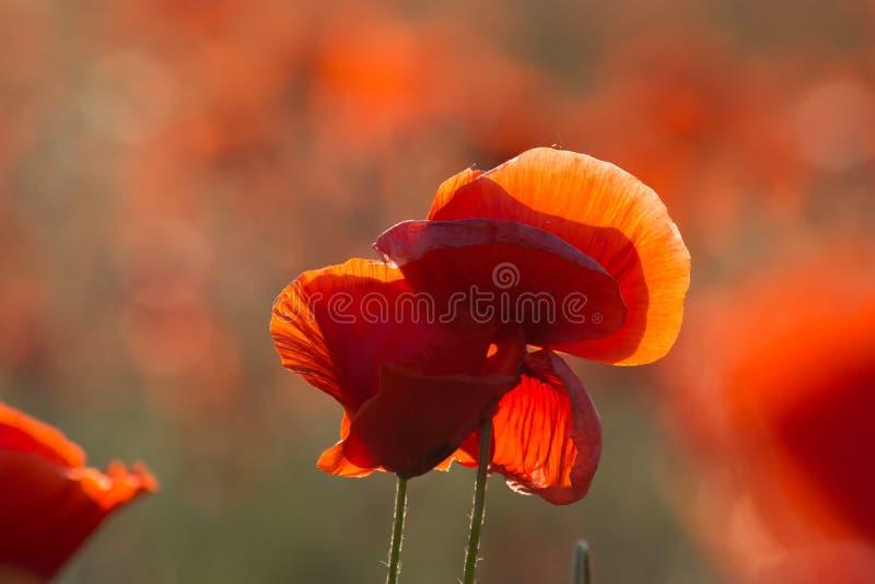 Rote Mohnblume lizenzfreie stockfotografie