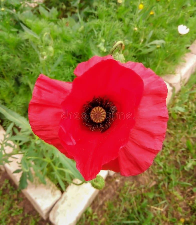 Rote Mohnblume auf dem Blumenbeet stockfotografie